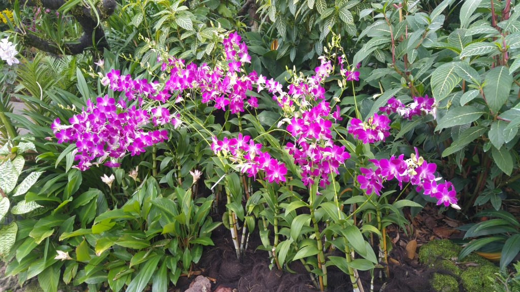 Orquídeas Singapur